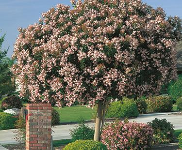 Indian Hawthorn Panorama Tree Care